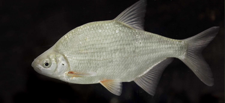 Ловля густеры на Ахтубе — особенности рыбалки на Ахтубе: как и на что ловить густеру